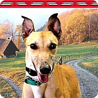 Adopt A Pet :: Bindi - Spencerville, MD