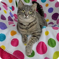 Russian Blue Cat for adoption in Taylor Mill, Kentucky - Misty the Magnificent