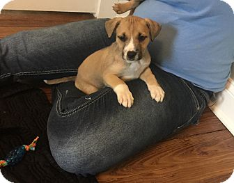 Shepherd (Unknown Type)/Labrador Retriever Mix Puppy for adoption in Hayes, Virginia - Colby