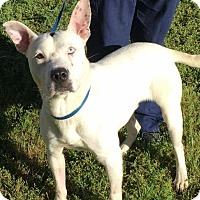 Adopt A Pet :: APOLLO - Pittsburgh, PA