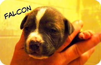 Pit Bull Terrier/Labrador Retriever Mix Dog for adoption in Defiance, Ohio - Falcon