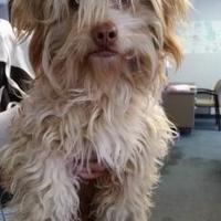 Poodle (Miniature) Mix Dog for adoption in Fresno, California - Otto