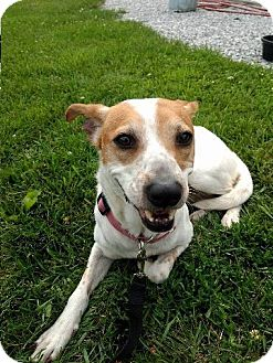 Feist/Terrier (Unknown Type, Medium) Mix Dog for adoption in Palatine, Illinois - Maggie