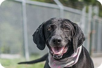 Labrador Retriever Mix Dog for adoption in Dallas, Georgia - 17-07-2047 Amelia