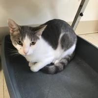 Domestic Shorthair/Domestic Shorthair Mix Cat for adoption in Thomasville, Georgia - PECOS