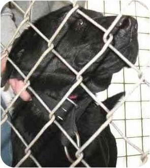 Labrador Retriever Mix Dog for adoption in Anderson, Indiana - Monster