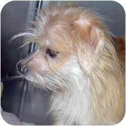 Yorkie, Yorkshire Terrier/Maltese Mix Puppy for adoption in Dunedin, Florida - Gino