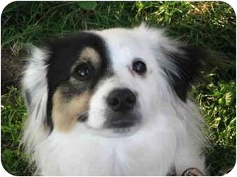 Sheltie, Shetland Sheepdog/Bichon Frise Mix Dog for adoption in Toronto/Etobicoke/GTA, Ontario - Lightening