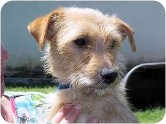 Terrier (Unknown Type, Small) Mix Dog for adoption in Mahwah, New Jersey - Miley