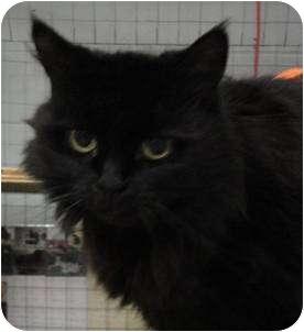 Domestic Longhair Cat for adoption in Mission, British Columbia - Sasha