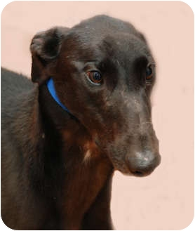 Greyhound Dog for adoption in Ware, Massachusetts - Buddy
