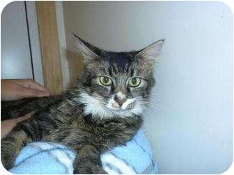 Domestic Mediumhair Cat for adoption in Shelbyville, Kentucky - Darlie