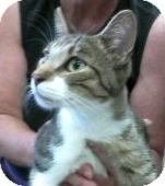 American Shorthair Cat for adoption in Ogden, Utah - Cicero