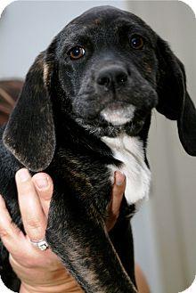 Beagle Mix Puppy for adoption in Kalamazoo, Michigan - Melody