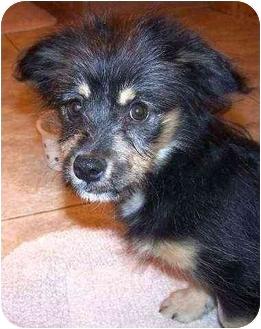 Dachshund/Terrier (Unknown Type, Small) Mix Puppy for adoption in Pittsboro/Durham, North Carolina - Ziggy