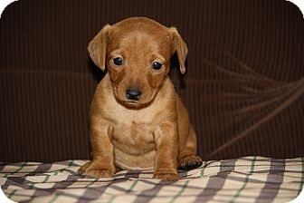 Dachshund Mix Puppy for adoption in West Milford, New Jersey - FAWN-pending