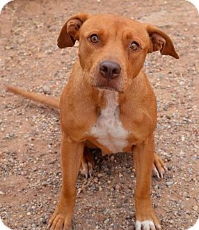 Pit Bull Terrier Mix Dog for adoption in Lubbock, Texas - Rosie