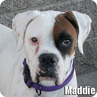 Boxer Dog for adoption in Encino, California - Maddie