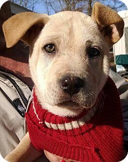 Labrador Retriever/Boxer Mix Puppy for adoption in Greenfield, Wisconsin - GOLDIELOCKS