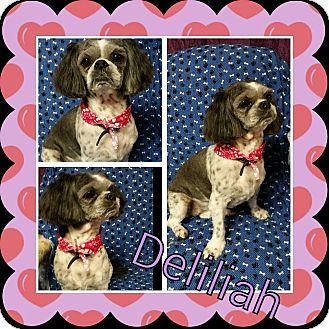 Shih Tzu Mix Dog for adoption in Urbana, Ohio - Delilah