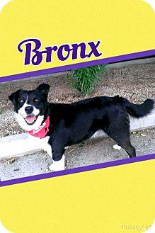 Border Collie Mix Dog for adoption in Apache Junction, Arizona - Bronx