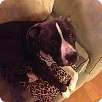 Adopt A Pet :: Chance - West Hills, CA