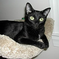 Domestic Shorthair Cat for adoption in Raleigh, North Carolina - Ivy C