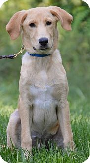 Labrador Retriever Mix Puppy for adoption in Pleasant Plain, Ohio - Kibet