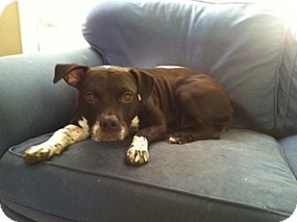 American Staffordshire Terrier/Boston Terrier Mix Dog for adoption in richmond, Virginia - Zeke