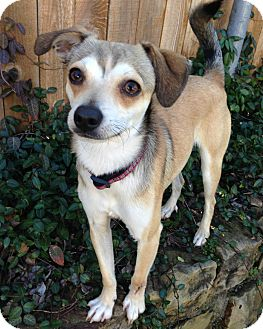 Terrier (Unknown Type, Small)/Chihuahua Mix Dog for adoption in McKinney, Texas - Half-Pint