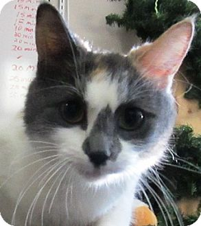 Domestic Shorthair Cat for adoption in Lloydminster, Alberta - Violet