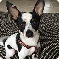 Adopt A Pet :: Fennec - Gainesville, FL