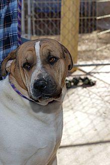 Shar Pei/Halden Hound (Haldenstrover) Mix Dog for adoption in Corona, California - Spooner the Crooner, Shar-Pei
