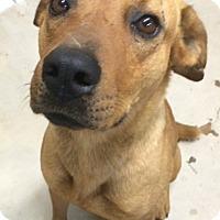 Adopt A Pet :: Storm - San Antonio, TX