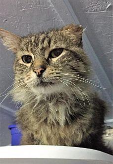Domestic Mediumhair Cat for adoption in Fredericksburg, Virginia - Tito