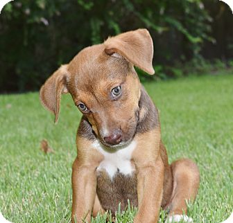 Labrador Retriever/German Shepherd Dog Mix Puppy for adoption in Knoxville, Tennessee - SPICE
