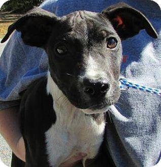 Australian Shepherd Mix Puppy for adoption in Laingsburg, Michigan - George
