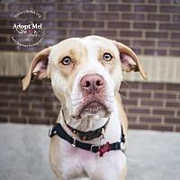 Adopt A Pet :: Laci - Charlotte, NC