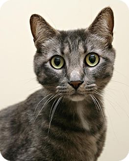 Domestic Shorthair Cat for adoption in Bellingham, Washington - Cindy