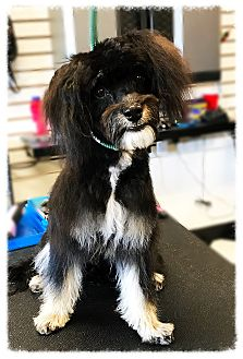 Poodle (Miniature)/Cockapoo Mix Dog for adoption in Los Alamitos, California - Albus