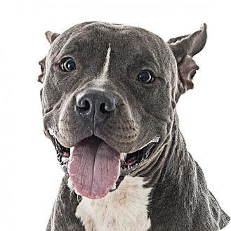 Pit Bull Terrier Mix Dog for adoption in Fullerton, California - Jackson