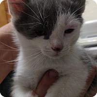 Adopt A Pet :: Kattie - Divide, CO