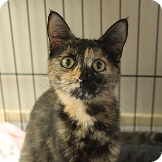 Domestic Shorthair Cat for adoption in Naperville, Illinois - Emilia