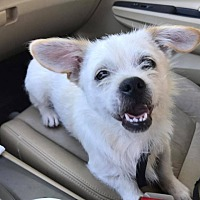 Shih Tzu/Wirehaired Fox Terrier Mix Puppy for adoption in Bedminster, New Jersey - Merlin