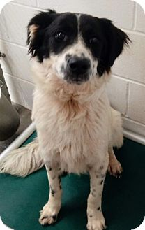 Border Collie Puppy for adoption in Toronto, Ontario - Bosch