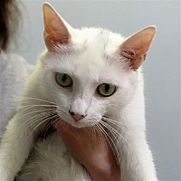 Domestic Shorthair Cat for adoption in Indiana, Pennsylvania - Blanche