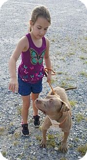 American Staffordshire Terrier Mix Dog for adoption in Southbury, Connecticut - Peanut Butter