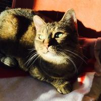 Domestic Shorthair/Domestic Shorthair Mix Cat for adoption in Boonville, Missouri - Kahlua
