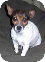 Jack Russell Terrier Dog for adoption in Warren, New Jersey - Lucy Lu