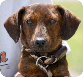 Dachshund Mix Dog for adoption in Inman, South Carolina - Adam